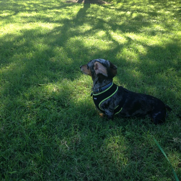Dog Walking Services Austin